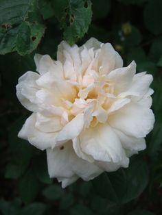 Gruss an aachen a été élue la plus belle rose ancienne au congrès mondial des sociétés de roses en 2000. Un temps abandonné, il mérite de retrouver sa place dans tous les jardins. Buisson compact se couvrant de fleurs jusqu'à la fin de l'automne. Grandes fleurs plates, doubles, blanc crème teinté de rose pâle, et réunies en bouquets. Feuillage bien résistant aux maladies. Hybride de Thé. Gedulgig, 1909.