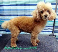 Brandy (Mini Poodle) Before A Pet Style http://www.gooddogsspaandstudio.com