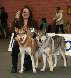 FOSSOMBRONE WINNER 24º International Dog Show Modena 2016! BEST of BREED !!! BEST Saarloos! #WeAreFossombrone #FOSteam