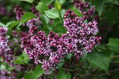 Buy common Lilac Syringa vulgaris 'Sensation': Delivery by Crocus