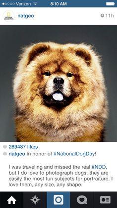 #chowchow this furry friend is Martha Stewart's award winning Chow Chow dog. His name is Genghis Khan. #marthastewart #dog #genghis #westminster #winner via @natgeo