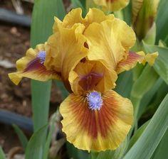 SDB Iris germanica 'Feel the Heat' (Tasco, 2015) Brown Flowers, Iris Flowers, Pretty Flowers, Planting Flowers, Iris Garden, Garden Plants, Dwarf Iris, Japanese Iris, Purple Plants