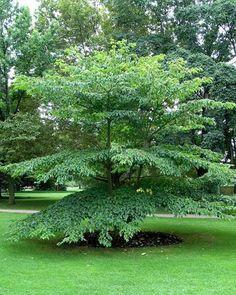 CORNUS alternifolia int