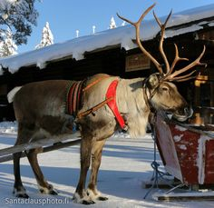 Santa Claus reindeer in Santa Claus Village in Lapland
