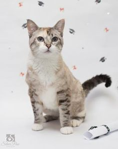 Meet Belinda, a Petfinder adoptable Domestic Short Hair Cat | Fort Collins, CO | Name: BelindaGender: FemaleColor: Grey and tanAge: 1 year 4 months