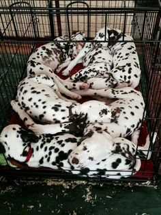 Dalmatian babies <3