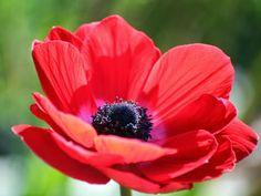 Land of Israel: National Symbols – National Flower.  Anemone coronaria
