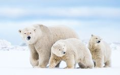 """Sow and Two Cubs - Join us next year - http://epicphotodestinations.com/polar-bears-photo-tour.html  Arctic National Wildlife Refuge, Alaska, USA.  <a href=""""http://www.alexmody.com/"""">Website</a> 
