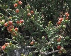 Image result for tasajillo Small Plants, Image, Google Search, Plants