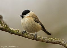 Marsh Tit. I also pined more angles of marsh tit because I may find it useful later on.