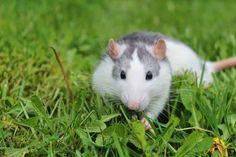 White Rat In A Tree Cute Rats Rats Pet Rats Rodents