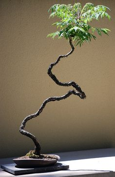 Weyerhaeuser bonsai by halobrien, via Flickr