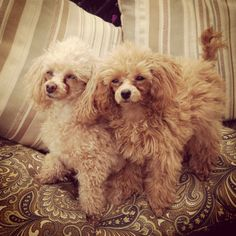 Teacup #poodles Apricot Such sweet, lovable dogs!
