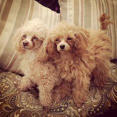 Teacup #poodles