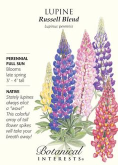 "$1.99 Lupine Russell. Stately lupines always elicit a ""wow!"". This colorful array of tall flower spikes will take your breath away! NATIVE."