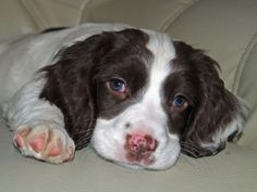 English springer spaniel. look at that face!
