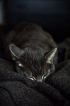 Gray cat sleeping... Cat Sleeping, Grey Cats, Cats And Kittens, The Darkest, Gray, Animals, Ideas, Gray Cats, Ash