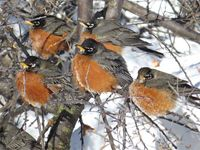 American robins with feathers fluffed for warmth