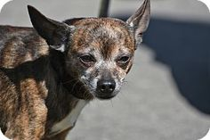 My name is TONTO and I am a cute little chihuahua. I am playful and fun. I do fine with cats and dogs and older kids. I am neutered, up to date on vaccinations, heart worm negative and ready to go. I am a typical chihuahua who is true to my breed. That means I think I am a big dog in a little body. I think I could rule the world.