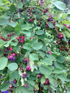 Superfoodia  Marjatuomipihlaja Plants, Plant, Planets