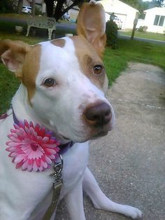 That sweet face says it all.  go to www.isabellaspetshop.com to order you special flower bow today.  Together, we are  making a difference one bow at a time.