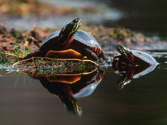 tortuga de agua comiendo - Buscar con Google