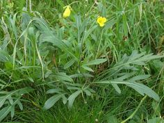 Foraging for wild food and medicinal plants - Brassicas Plant Profile