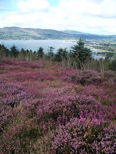 Purple heather all in bloom, in Northern Ireland. The sight of it at summer's end and in the fall throughout Ireland is gorgeous.