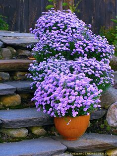Container Gardening... pots of lavender- coloured Asters