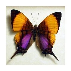 Marpesia Marcella - Orange and Purple Marpesia Swallow-tail; From Peru