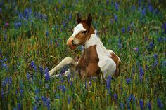 The history of the Paint Horses begins in 1519 when the Spanish explorer Hernando Cortez sailed to North America along   with his entourage of conquistadors.
