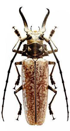 Photos - BUGS & INSECTS - Callipogon Sericeum (Male)