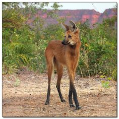 Those legs aren't Photoshopped, nor are they stilts. The maned wolf just has really long, really skinny legs. We're not sure what the evolutionary advantage of being a living Disney cartoon might be.