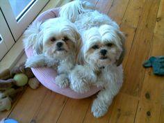 Shih Tzu sisters Alice & Pippi