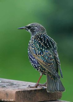 "European Starling. ""All the world is a stage.""  The American Acclimatization Society introduced  birds found in Shakespeare's plays to Central Park in NYC in the Late 1800's- there are now more than 200 million European Starlings throughout the US."
