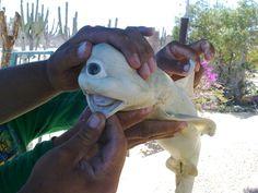 albino cyclopean shark fetus