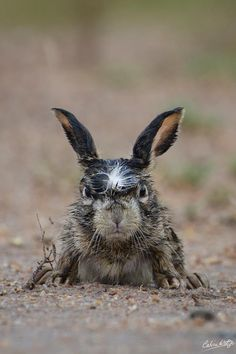 Disgruntled hare is having a terrible morning
