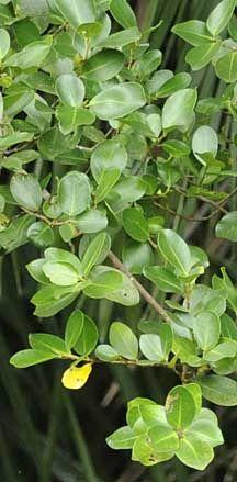 Jejawi or Malayan banyan (Ficus microcarpa) on the Shores of Singapore