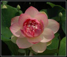 Fiore di loto - Parco di Sigurtà - Valeggio sul Mincio