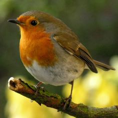 I did not know there was a European Robin. All Birds, Little Birds, Pretty Birds, Beautiful Birds, European Robin, Robin Redbreast, Robin Bird, Wild Creatures, Mundo Animal