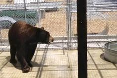 The Glendale bear, known as Meatball as well as Glen Bearian, was trapped last week and taken to a temporary home — Lions Tigers & Bears in Alpine, at the edge of the Cleveland National Forest east of San Diego. (California Fish and Game / August 29, 2012). His transfer to Colorado is now on hold.