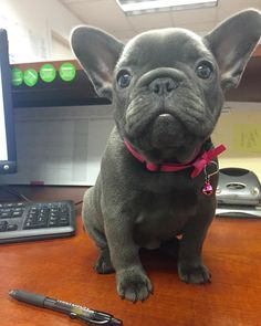 Happy New Year  #happynewyear #frenchie #frenchbulldog #blue #bluefrenchie #bluefurbullies #bluefrenchbulldog #bully #pnw #bulldog #office #puppy #thinkpup #thefrenchiepost #thefrenchiehub #frenchieoftheday #frenchieoverload #frenchieobsessed #puppylove #puppiesofinstagram #tootsielee by tootsielee_thefrenchie