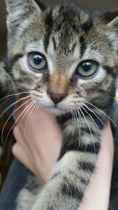 Best of Tabby Cats pictures: Kittens And Puppies, Cute Cats And Kittens, I Love Cats, Crazy Cats, Kittens Cutest, Tabby Kittens, Siamese Cat, Pretty Cats, Beautiful Cats