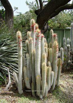 Cleistocactus hylacanthus