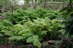 Image result for Athyrium filix-femina