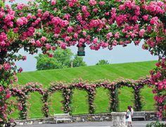 'American Pillar Rose at Longwood Gardens' by Tom Mayhew