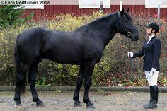 Riding horse type Finnhorse stallion Kuningas Ässä
