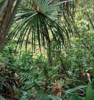 El bosque de galería, con palma de moriche, presenta un estrato herbáceo denso con abundantes platanillos.