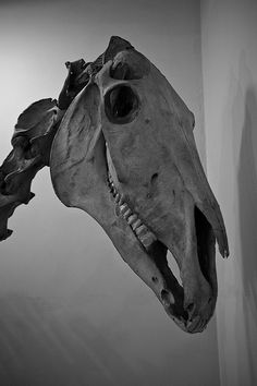 Marvelous Drawing Animals In The Zoo Ideas. Inconceivable Drawing Animals In The Zoo Ideas. Horse Skull, Horse Art, Horse Horse, Skull Anatomy, Horse Anatomy, Animal Skeletons, Animal Skulls, Horse Drawings, Animal Drawings