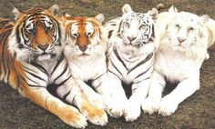 16.) Tiger family with different colorations.
